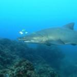 IMAX – Tiburones (2D)-[HDRip]-(Castellano)